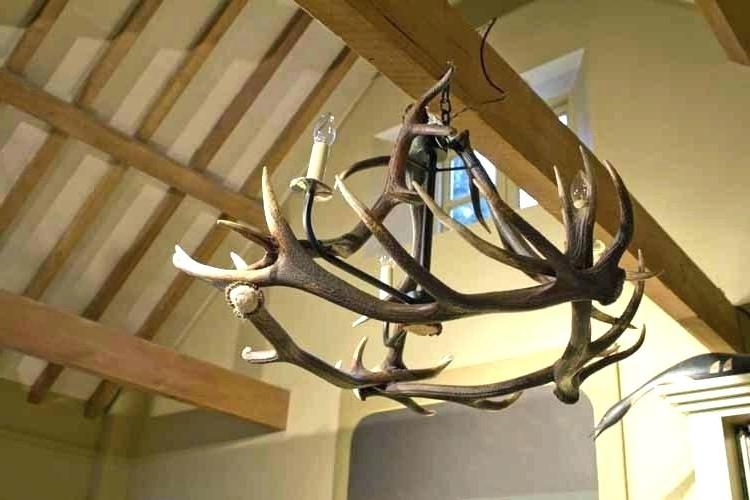 Current Horn Chandelier And Deer Antler Chandelier For Sale Chandeliers Real Regarding Stag Horn Chandelier (View 5 of 10)